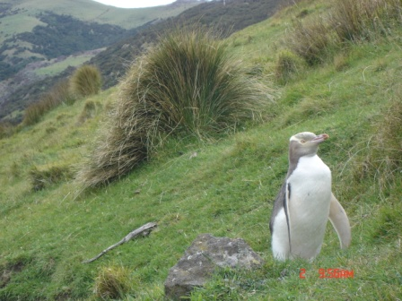 Unblinking yellow eyed penguin on track, obliging us to walk around